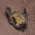 コウモリ退治!糞と騒音で厄介な蝙蝠の撃退方法はスプレーでOK